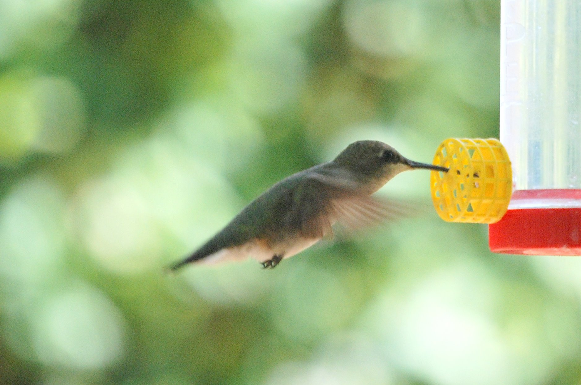 Female Lucifer hummingbird. Photo credit: Mark Klym