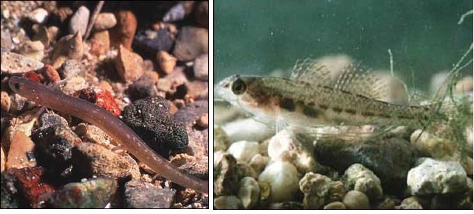 San Marcos Salamander and Fountain Darter