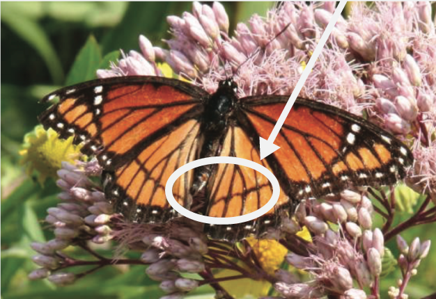 Adult viceroy butterflies have a solid black line on the hind-wings.