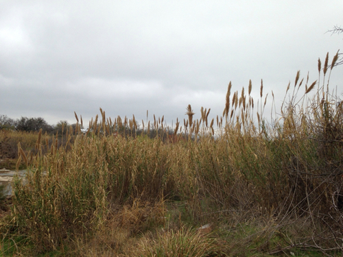 Arundo, photo courtesy https://www.inaturalist.org, kathelma