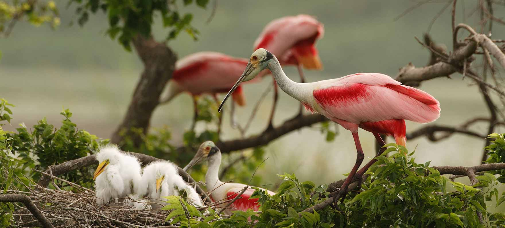 Roseate Spoonbill nestlings and parent.