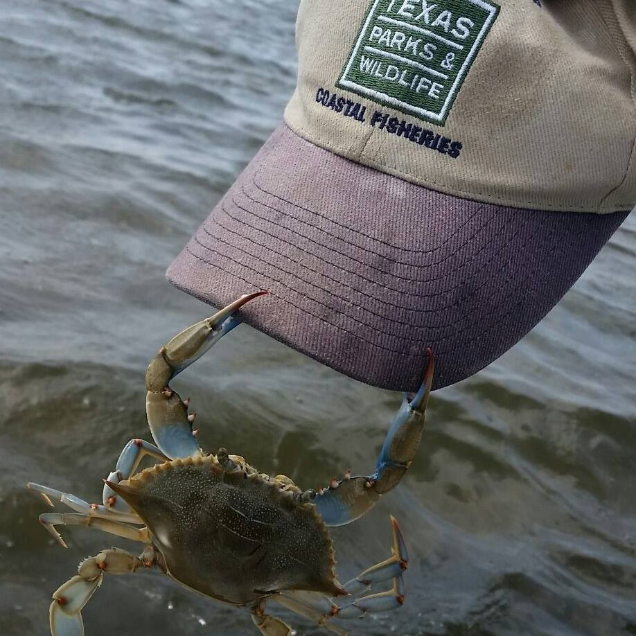 Crab clutching TPWD Coastal Fisheries hat. Photo by Braden Gross.