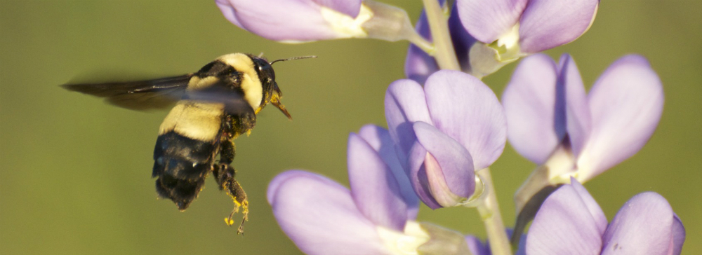 Southern plains bumble bee. Courtesy of Jessica Womack.