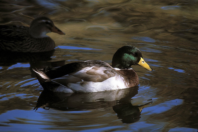 The Mallard is the most common of the dabbling ducks.