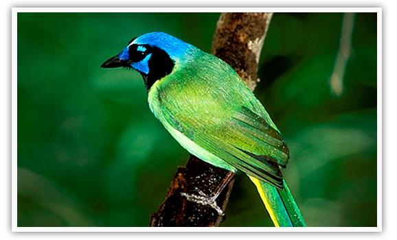 Green Jay /Chara Verde (Cyanocorax yncas)
