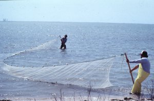 Using fishing nets to harvest from the gulf.