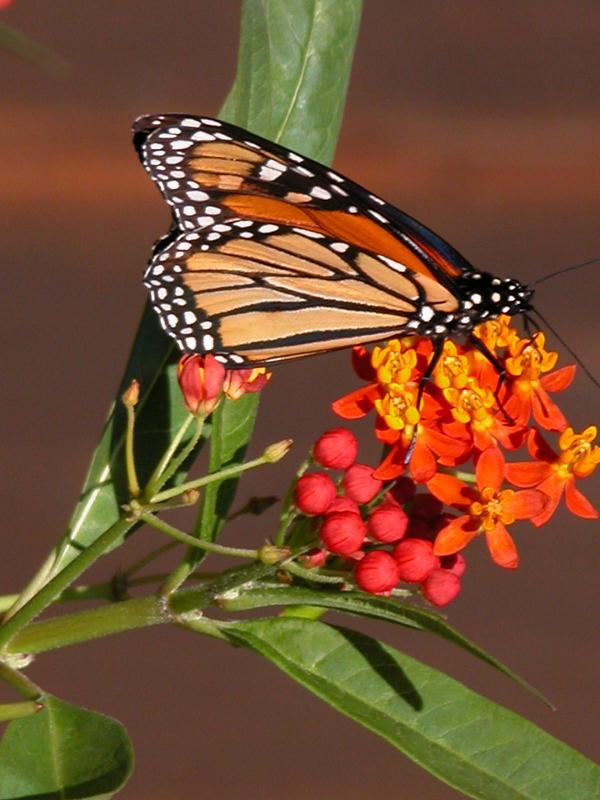 Monarch on milkweed.