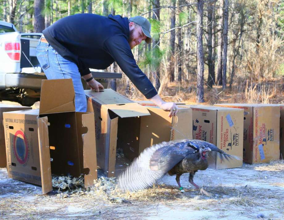 Randall Kroll, a TPWD wildlife biologist, releasing wild eastern turkey. Image: Houston Chronicle