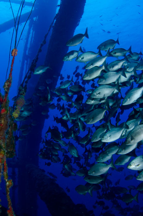 School of fish attracted to reefed oil platform.