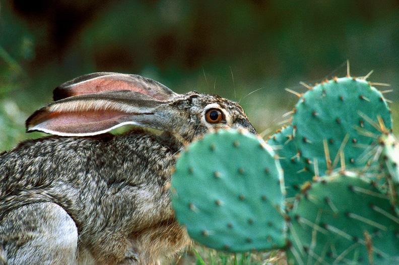 Jackrabbit hiding behind prickly pear cactus.