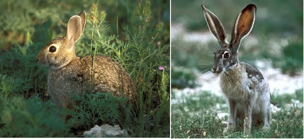 Side-by-side comparison of a cottontail (left) and hare (right).