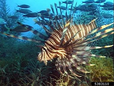 Pretty but deadly to native aquatic species.