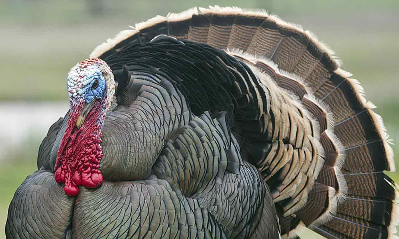 A fine Tom turkey in Texas.