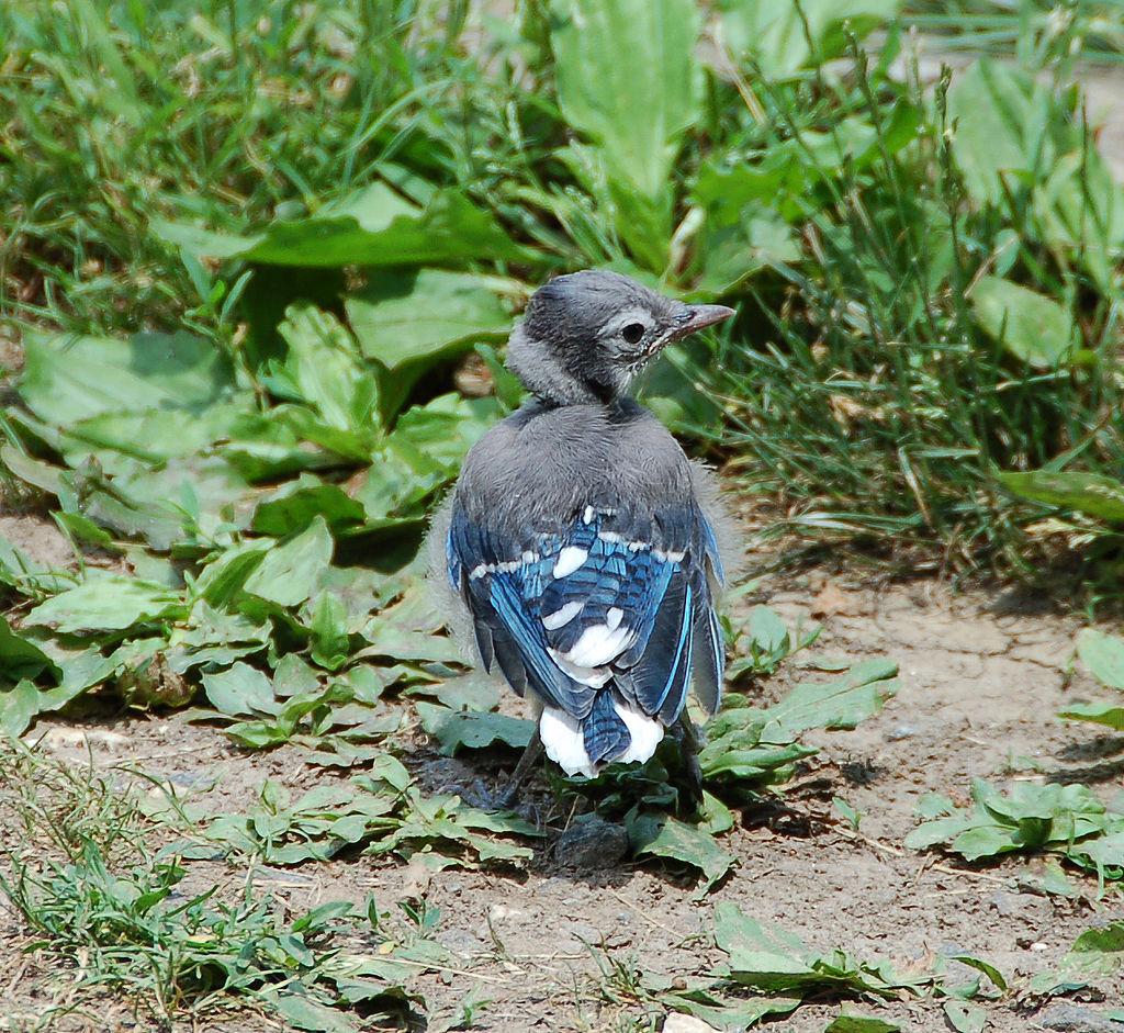 Fledgling Blue Jay, Photo by and (c)2009 Derek Ramsey (Ram-Man)