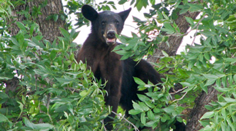 Black bear up a tree.