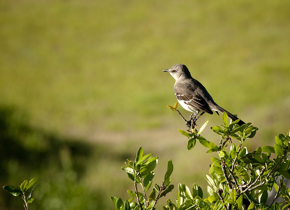 Mockingbird photgraph taken from the roof of TPWD HQ building.