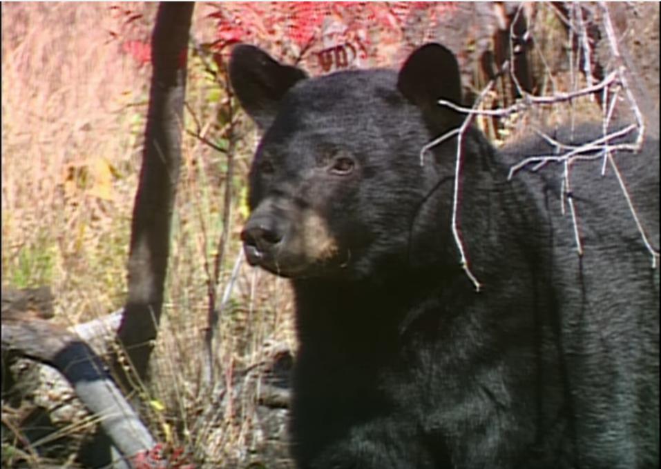 Friendly neighborhood black bear.