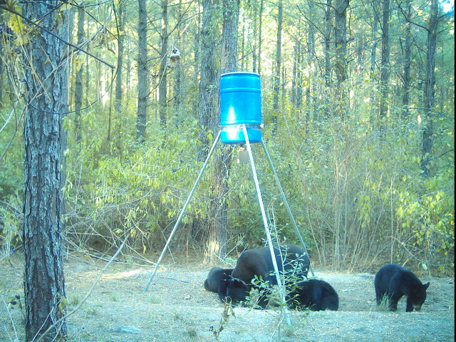 Black bears snacking on deer feed.