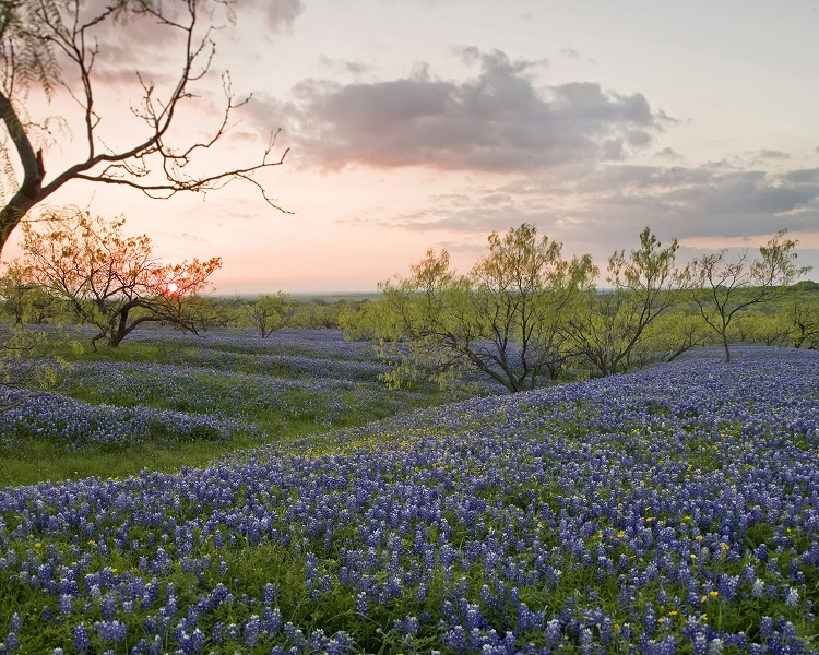 Spring bluebonnets as far as the eye can see.