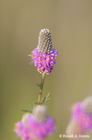 Prairie Clover. Image: Russell Graves