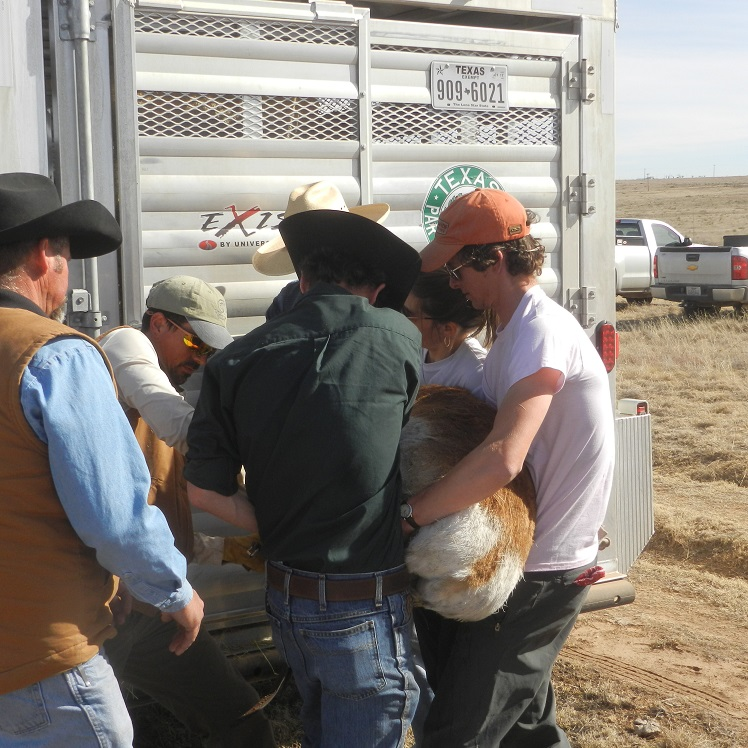 Working to restore pronghorn to the Trans Pecos.