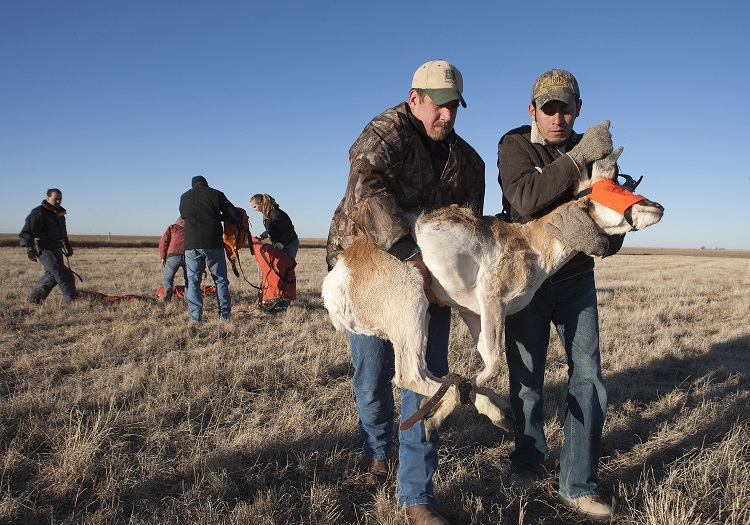 Pronghorn capture and release.