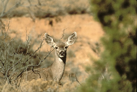 Mule deer in Texas