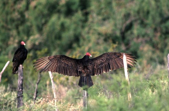 Texas Turkey Vulture.