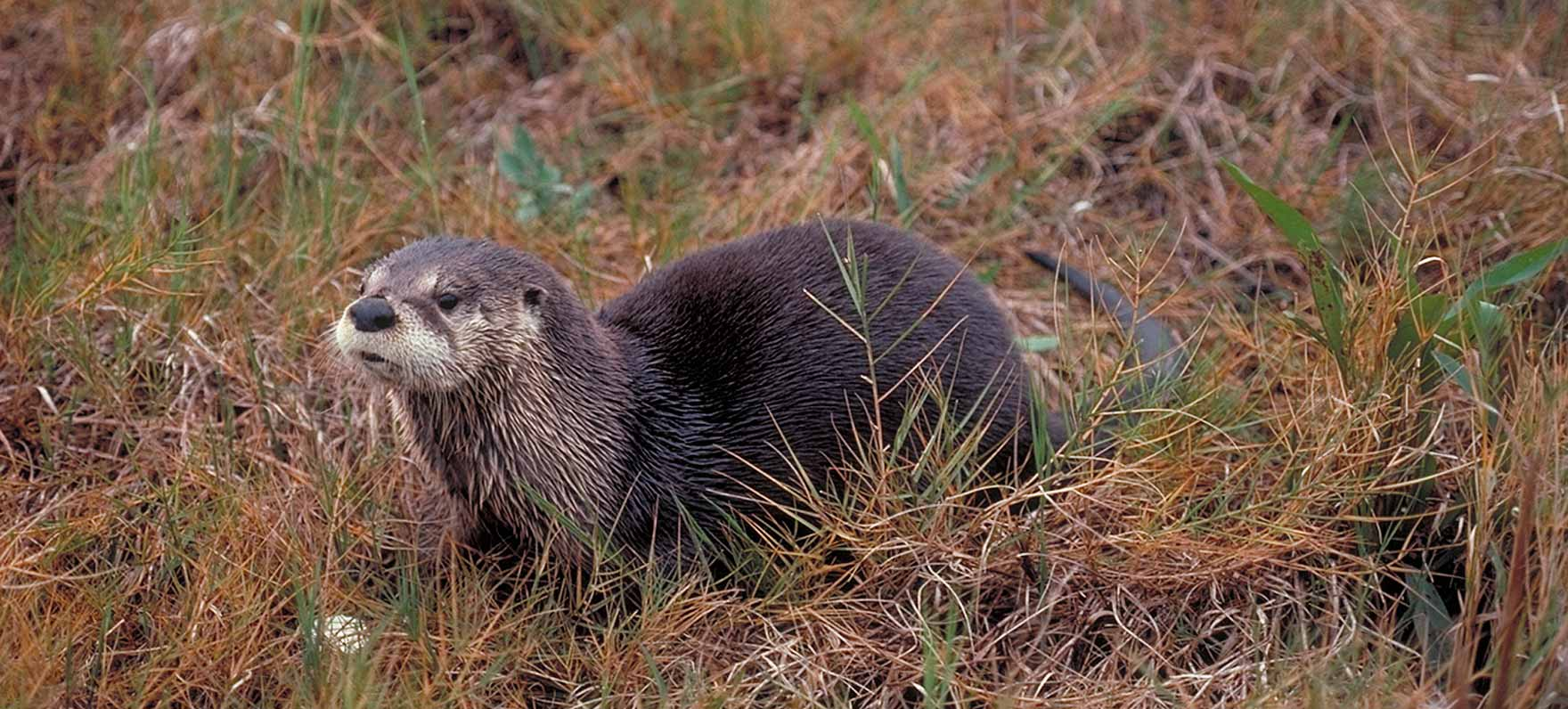 Texas River Otter
