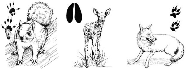 Common animal tracks in Texas.
