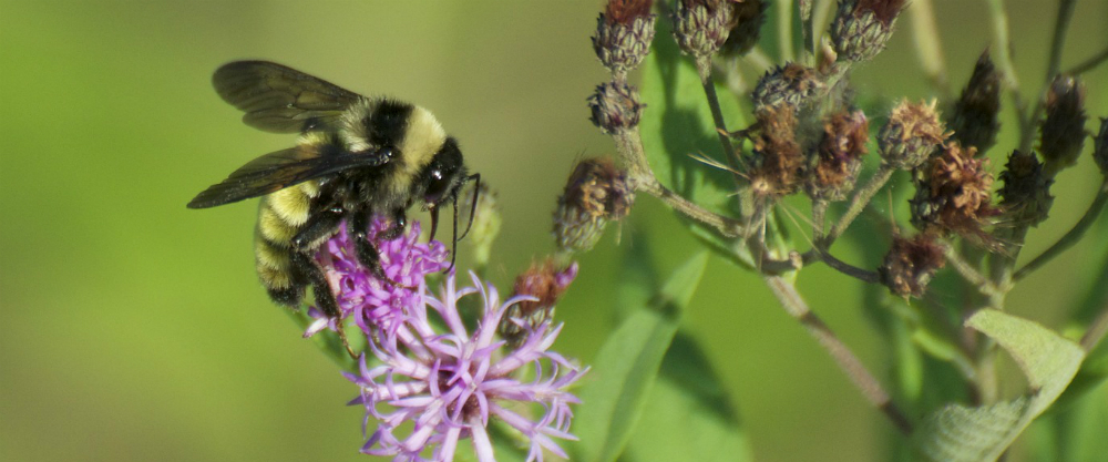 Hardworking native bumblebee