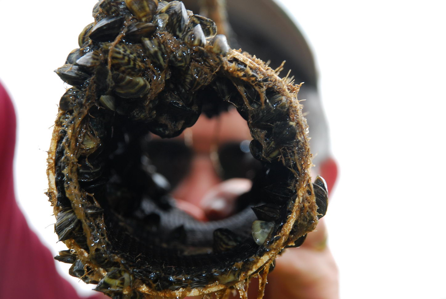 Zebra mussels can clog water pipes, cooling intakes on boat motors, and almost anything else left in the water in infested lakes. Image by Larry D. Hodge