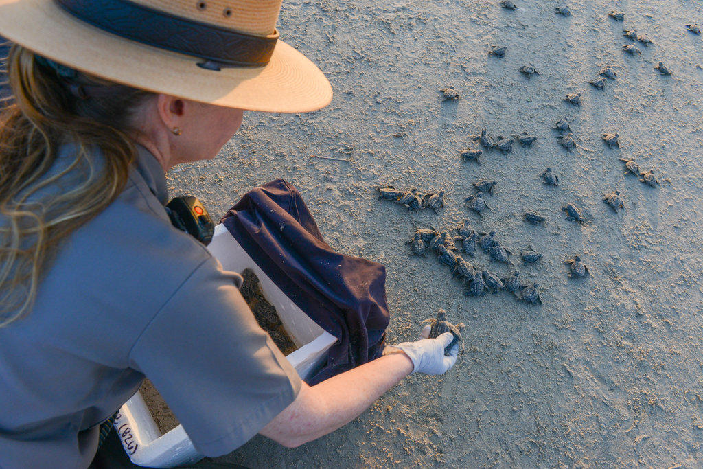 Donna Shaver, chief of the Sea Turtle Science and Recovery Program at Padre Island National Seashore, releases Kemp's ridleys hatchlings onto the beach. Photo: New York Times.