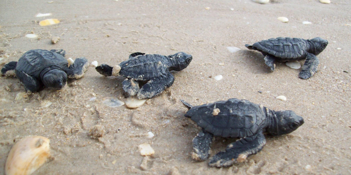 Four newly hatched Kemp's ridley sea turtles crawl on the beaches of Padre Island National Seashore as they are released into the wild. NPS Photo.