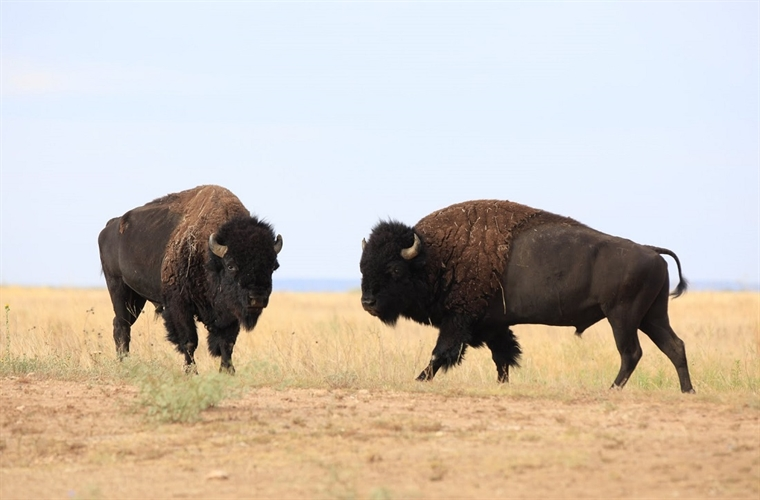 Bison making plans to attend Bison Fest September 23.
