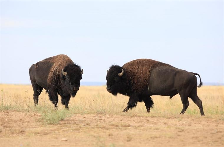 Bison making plans to attend Bison Fest September 23.