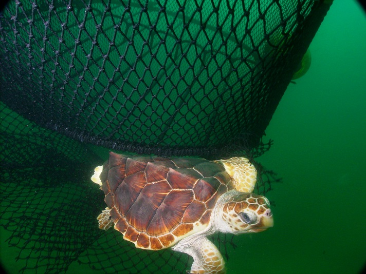 A loggerhead turtle escapes from a trawl net equipped with a turtle excluder device (TED). Image courtesy of NOAA.