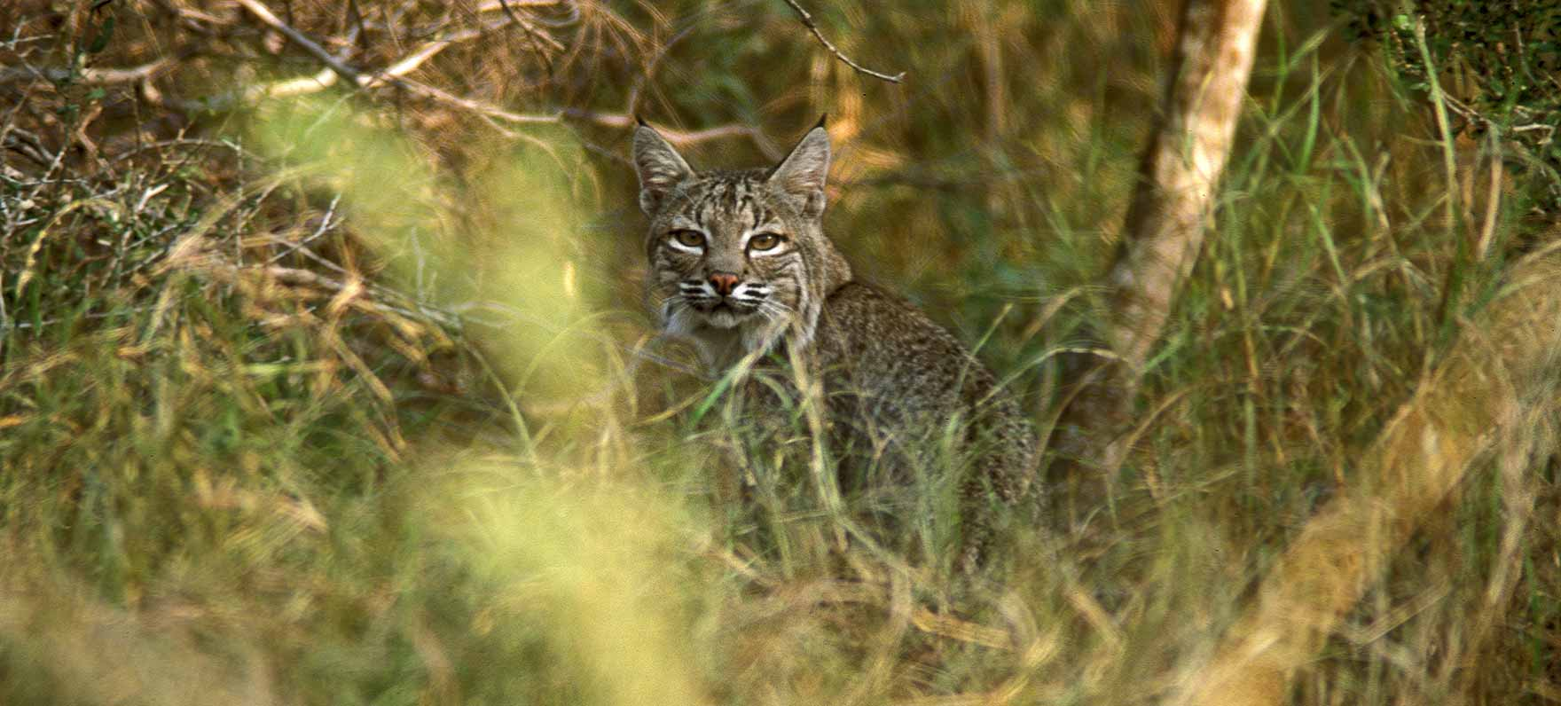 Bobcats serve an ecosystem function.