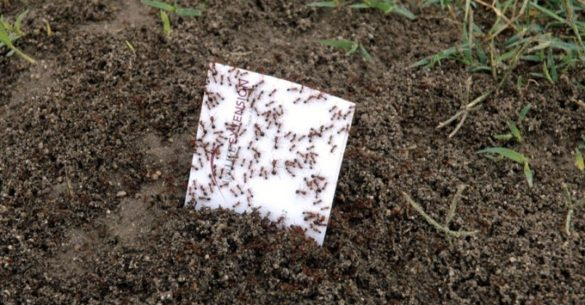 Fire ants swarming sheet of paper. Image: TAMU