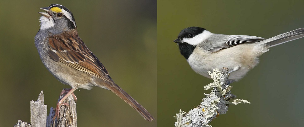 White-throated sparrow and Carolina Chickadee. Images:  National Audubon Society.
