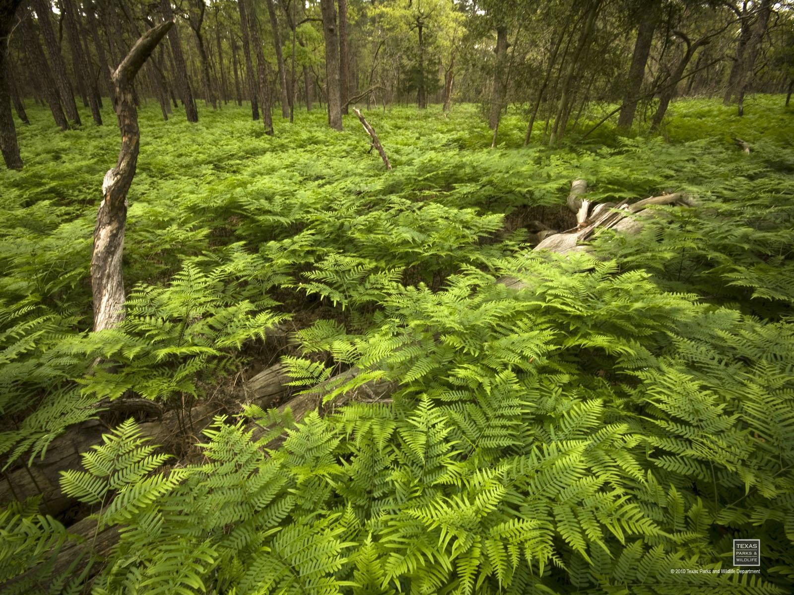 Bracken ferns at Bastrop State park