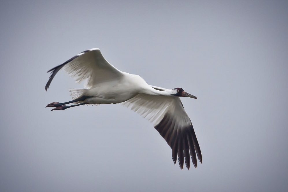 Whooping crane in flight.