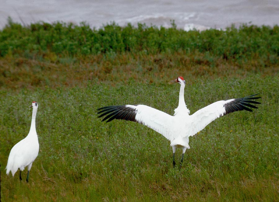 Whoopers at Aransas National Wildlife Refuge