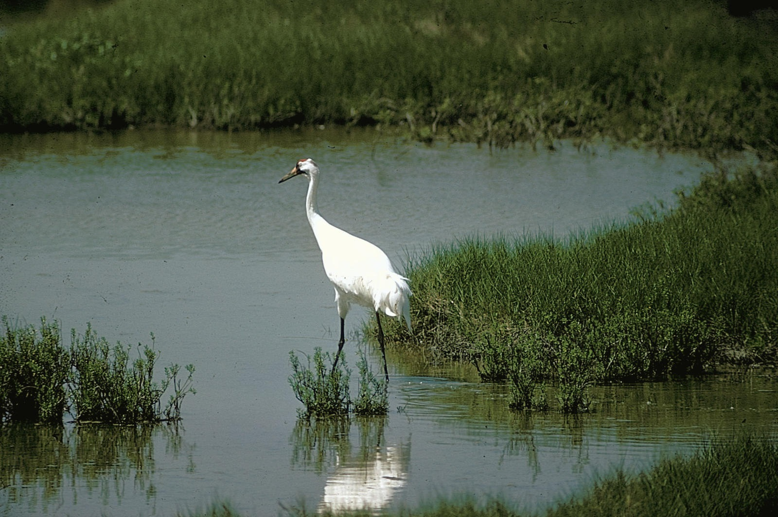 A whooping crane in quiet contemplation.