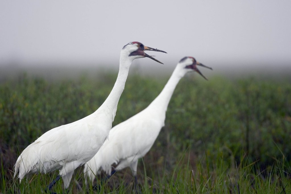 Whooping cranes are one of the rarest birds in North America.