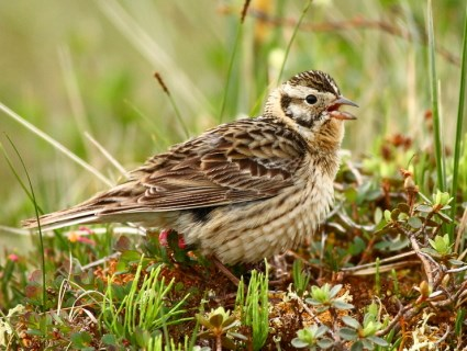 Smith's Longspur, breeding female. www.allaboutbuirds.org. © Andy Johnson, Churchill, Manitoba, Canada, July 2011