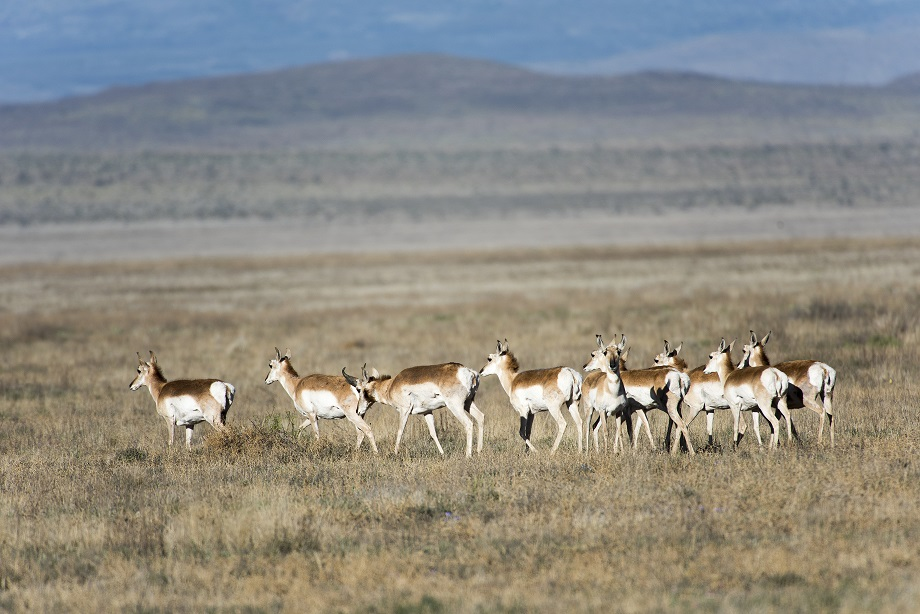 PRONGHORN ANTELOPE LOCATED JUST OUTSIDE OF MARFA TEXAS