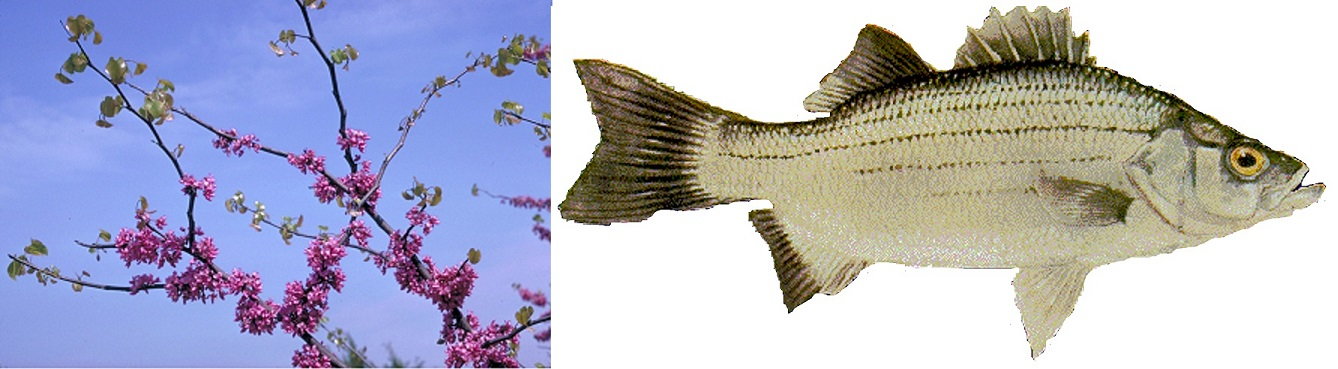 "Many old timers say ""when the redbuds (or dogwoods) are blooming the white bass are running."""