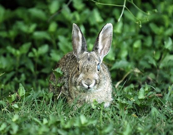 Big Bend_bunny25