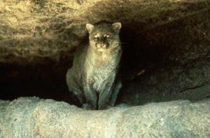 Endangered Jaguarundi
